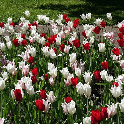 Tulpenmischung Mixed Extravaganza (250St. - reicht für 10-15m²)