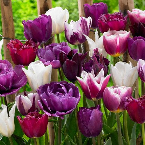 Tulpenmischung Mixed Purple Dream (250St. - reicht für 15-25m²))