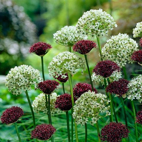 Mixed Allium (120St. - reicht für 40 - 60m²)