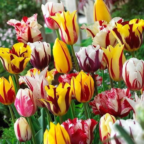 Rembrandt Tulpen Prachtmischung (250St. - reicht für 15-20m²)