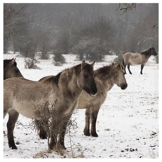 Kunstkaart Konikpaarden 4
