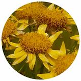 Clinic Cell - Arnica Montana Flower.webp