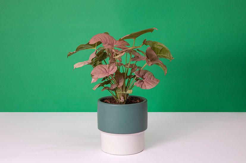 סינגוניום ורוד - Pink syngonium