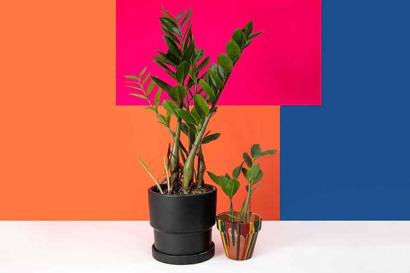 זמיה קולקוס - ZZ PLANT