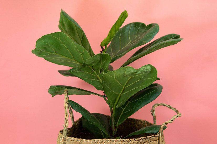 פיקוס כינורי - Fiddle leaf ficus