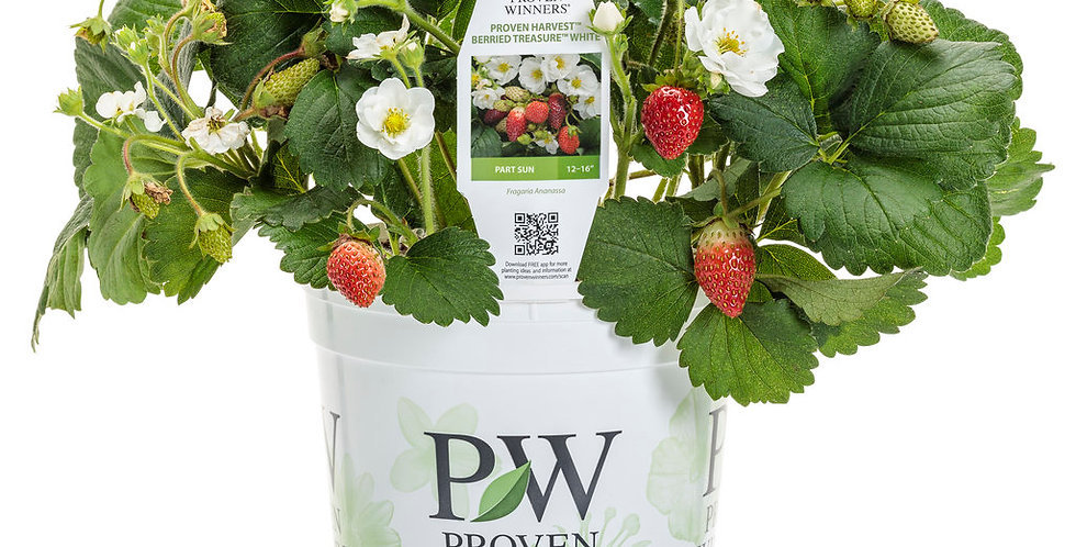Berried Treasure® White Strawberry    Proven Winners