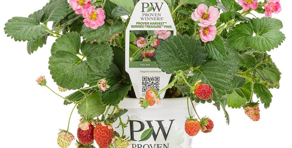 Berried Treasure® Pink Strawberry  | Proven Winners
