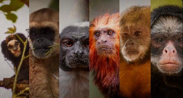 """Conhecer para defender é o lema da campanha """"Somos todos primatas"""" Imagem: reprodução redes sociais"""