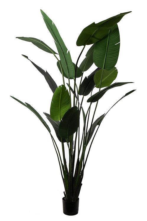 Pianta Sterlizie 18 foglie