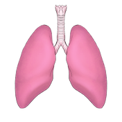 lungs trans.png