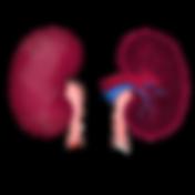 Kidneys trans.png