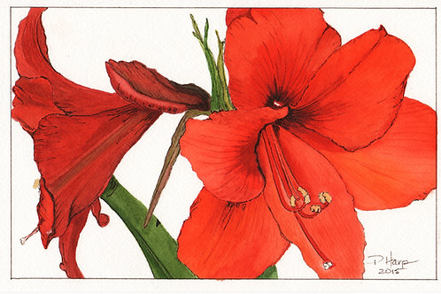 Amaryllis - Artist Signed Fine Art Print Greeting Card