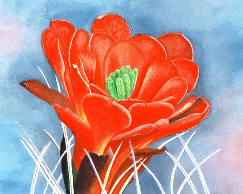 Claret Cup Cactus Bloom