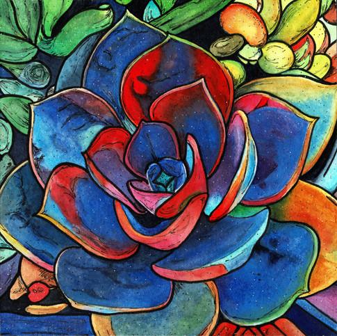 Echeveria Colorburst