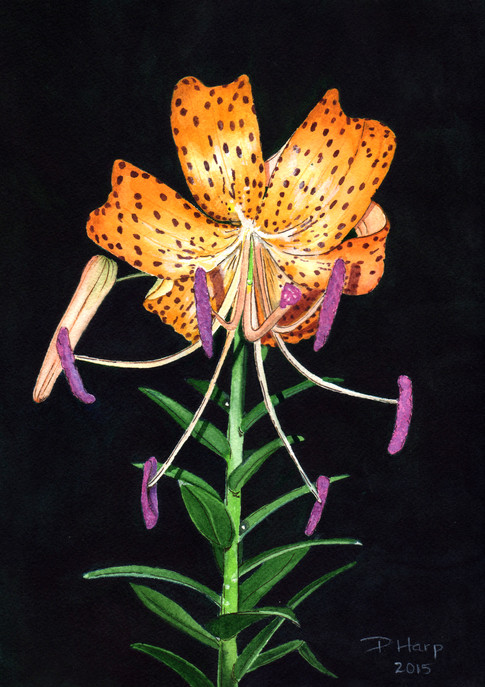 Loren's Lily