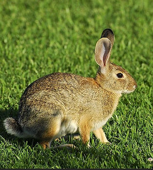 cottontail.jpg
