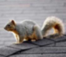 fox_squirrel.jpg