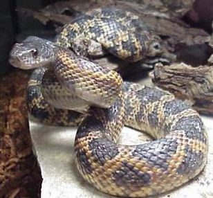 tx-rat-snake.jpg