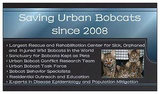 Bobcat Rescue