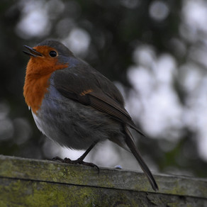 Garden Robin & Needham Lake