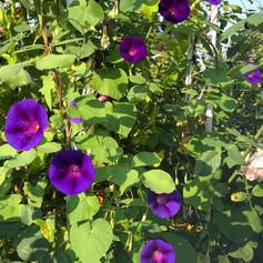 trichterwinde violett.jpg