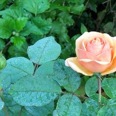 rosenblüre_rosa.jpg