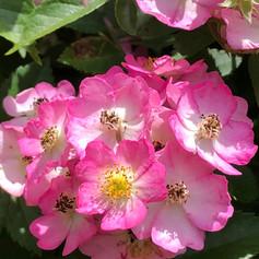 rosenblüten_rosa_klein.jpg
