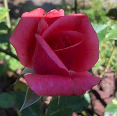 Rose rosarot.jpg