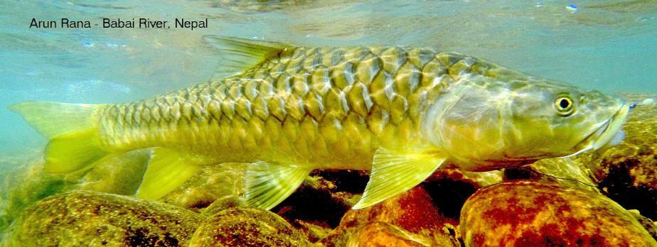 Golden mahseer fish swimming underwater
