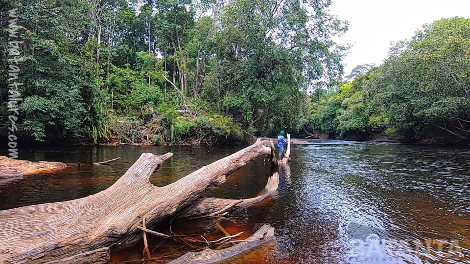 A lone angler balances on a dead tree, in the middle of a jungle river