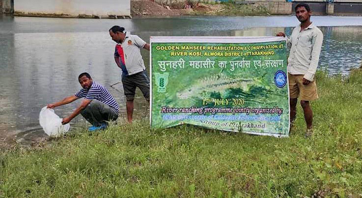 Releasing mahseer into Kosi River, Uttarakhand