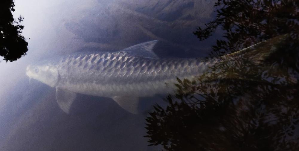 Alien mahseer Tor putitora underwater in Wayanad river