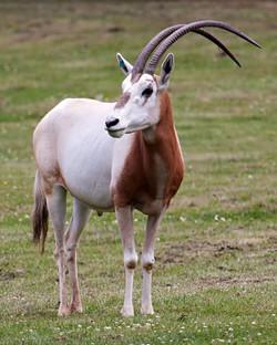 Semitar Oryx