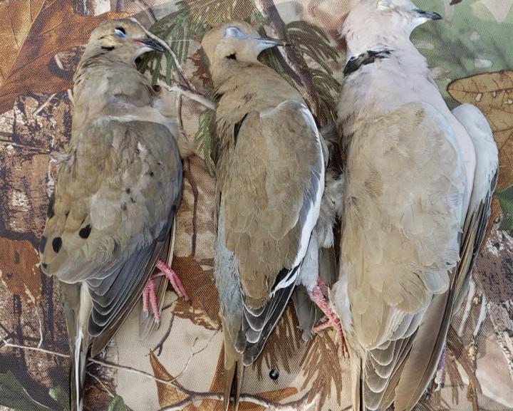 C.C.O Dove Hunting