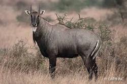 Nilgai Bull