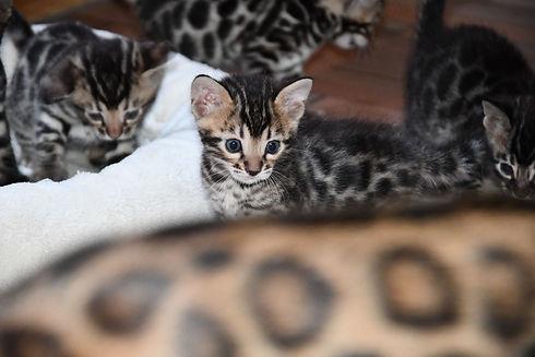 Kitten von Electra