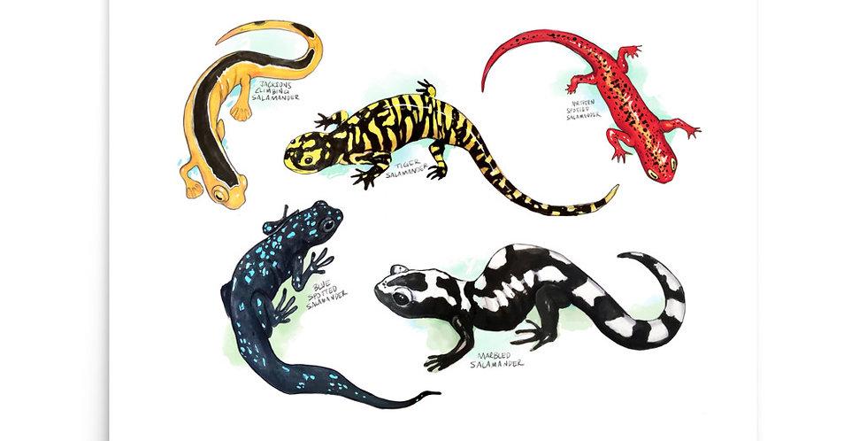 Salamanders - Photo paper poster