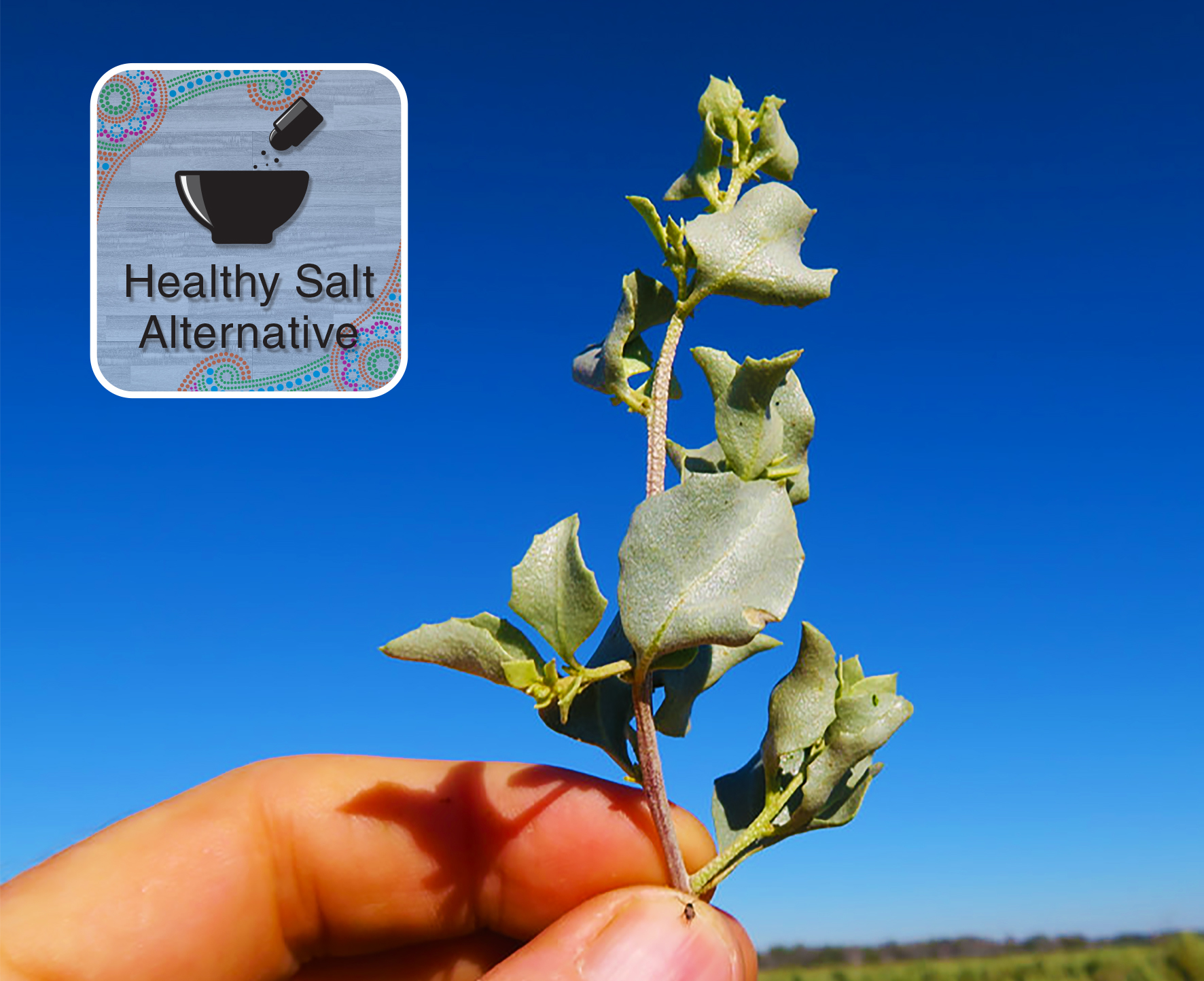 Salt Bush - Healthy Salt Alternative