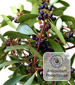 Pepperberry - Antioxidant Powerhouse