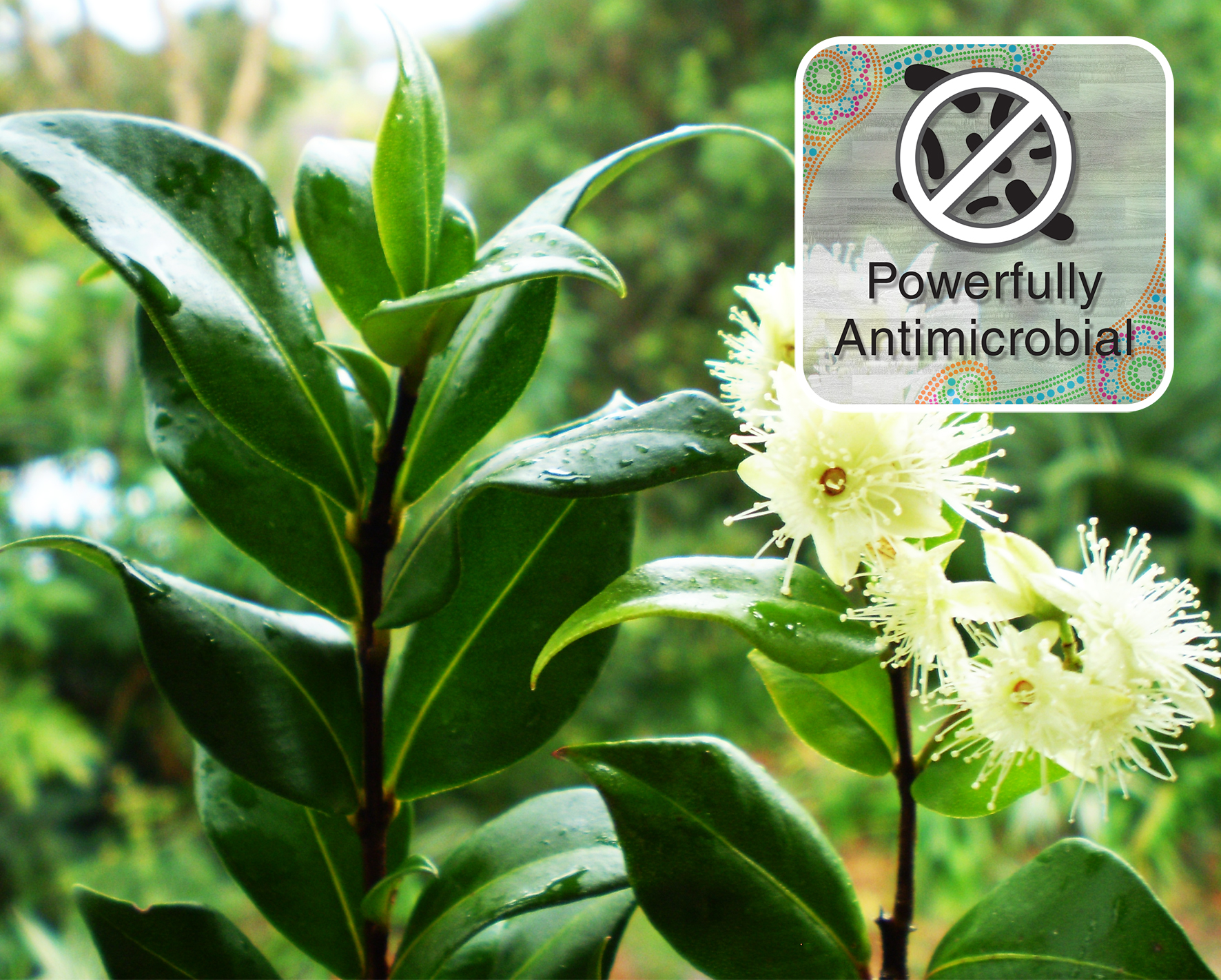 cinnamon myrtle Powerful Antimicrobial
