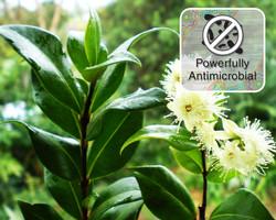 cinnamon myrtle Powerful Antimicrobial