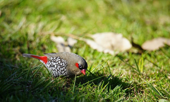 red eared firetail