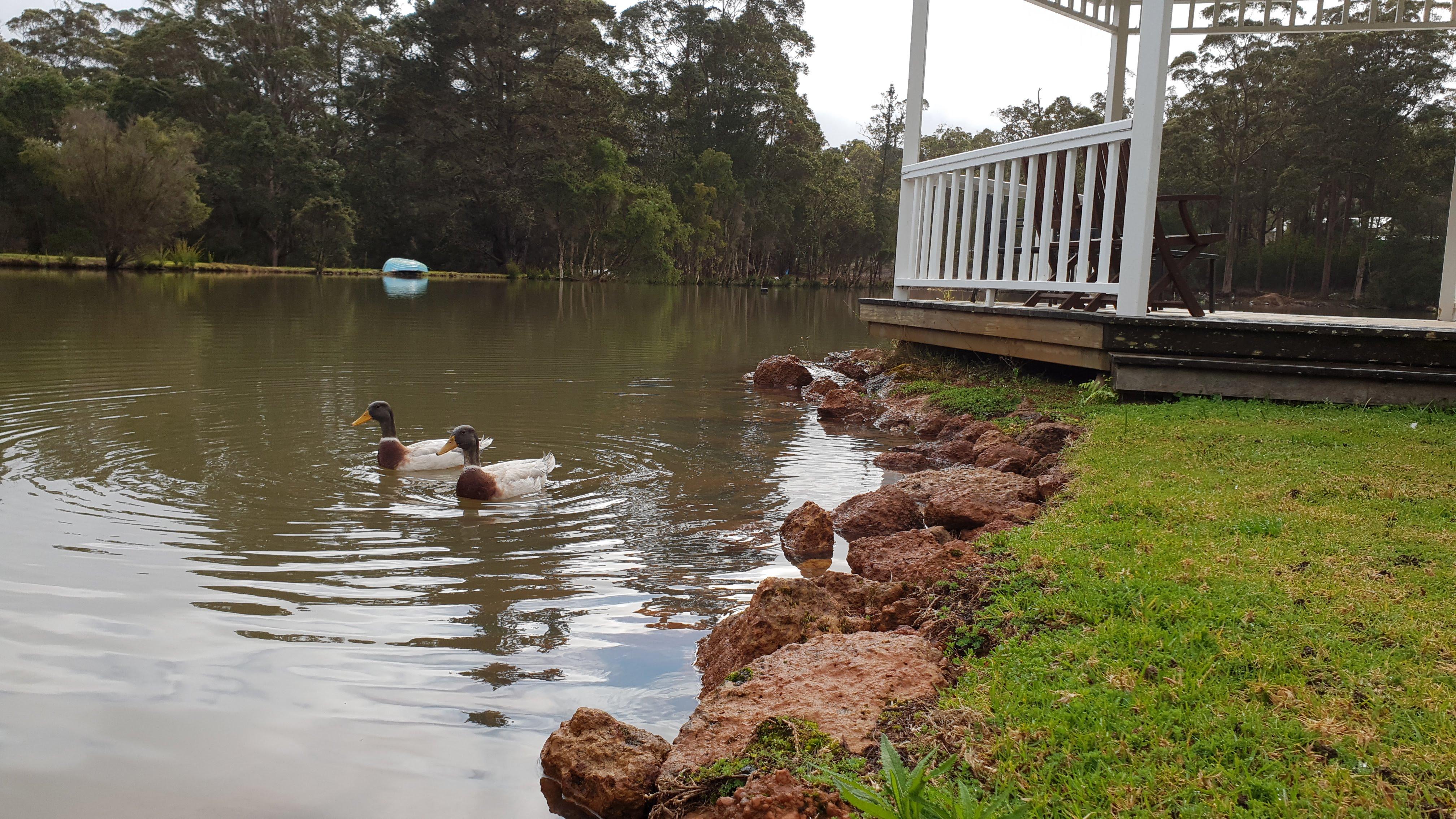 Mallard Ducks on the Lake