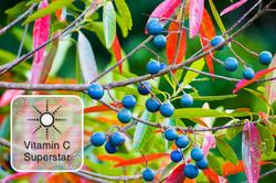 Blue Quandong - Vitamin C Superstar