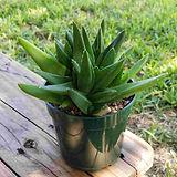 Aloe Nobilis Succulent