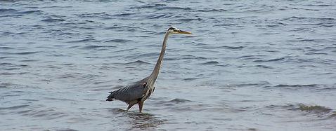 Ornithologie Îles-de-la-Madeleine