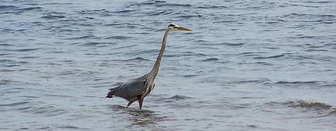 Ornithologie, Îles-de-la-Madeleine