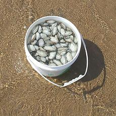 Pêche aux coques Îles-de-la-Madeleine