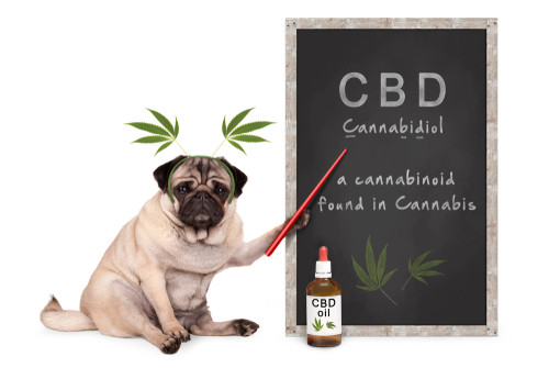 Dog holding pointer to blackboard with CBD printed