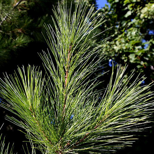Eastern White Pine (bundle of 25)